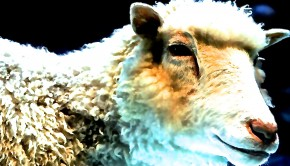 dolly_the_cloned_sheep 2